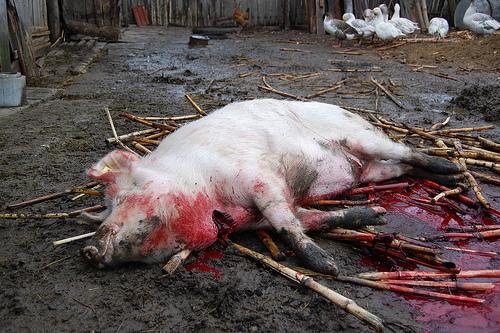 Tragôidía porcului ca  maine  este Sf Bartolomeu al suidelor adica Ignatu Taiatul-porcului